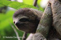 Three-toed Sloth at Tranquilo Bay