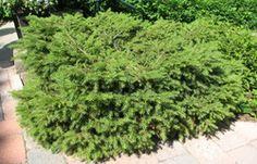 Havupuut ja -pensaat Herbs, Plants, Garden, Abies, Picea Abies, Terrace Garden