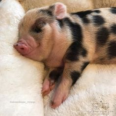 Miniature Pet Pigs – Why Are They Such Popular Pets? – Pets and Animals Cute Funny Animals, Cute Baby Animals, Animals And Pets, Farm Animals, Pet Pigs, Baby Pigs, Mini Teacup Pigs, Mini Piglets, National Pig Day