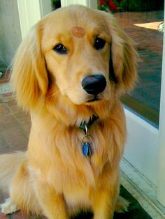 Sealed with a kiss. <3 #goldenretriever