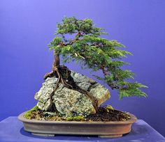 Root over Rock Juniper | Bonsai Baker More