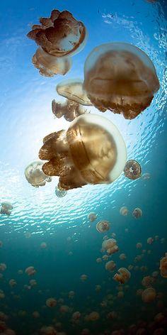 Jellyfish Lake, Micronesia  blue, dive, diving, korror lake, micronesia, ongeiml, tketau, underwater, photography, aabz-imaging