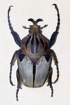 Escarabajo Goliat.