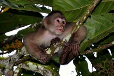 https://flic.kr/p/at2sZo | Capuchin Monkey in Amazon rainforest