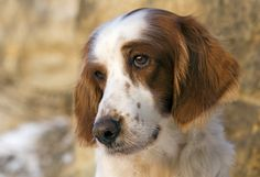 Red and White Irish Setter. I'm going to get one of these and name it Beowulf.