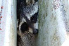 'Hefty' raccoon rescued from drain at Virginia school - http://cringeynews.com/uncategorized/4041487171182/