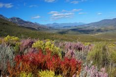 fynbos (indigenous wild flowers and scrub) found in the Western Cape of South Africa. South Africa Holidays, Africa Destinations, Mediterranean Garden, Out Of Africa, Beaches In The World, World Heritage Sites, Live, Trees To Plant, Wild Flowers