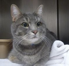 Adopted! Meet STEVE SEE ALSO DIXIE, a Petfinder adoptable Domestic Short Hair Cat | Marietta, GA | Steve is a beautiful 2 year old silver/blue male tabby.  He is sweet and keeps his cage very tidy. ...