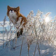 Red fox. Chukotka, Russia. Photo by Ivan Kislov.
