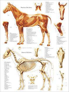 Horse Muscle Skeletal Anatomy Poster X Equine Veterinary Chart Dragon Anatomy, Horse Anatomy, Animal Anatomy, Anatomy Drawing, Anatomy Art, Horse Drawings, Animal Drawings, Horse Bones, Muscle Anatomy