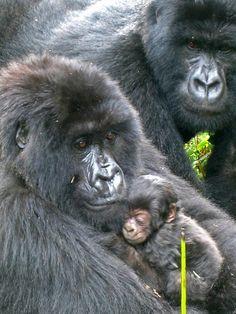 Gorilla family: mom cradles the infant
