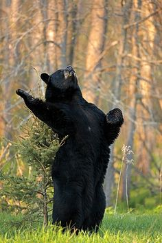 ~~Black Bear by James A. Galletto~~
