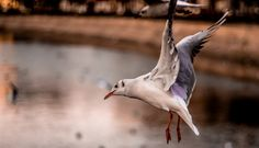 Seagull by Varga Orlando on 500px