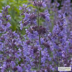 Nepeta Walker's Low (Walker's Low Catmint) is a robust variety with dark lavender-blue flowers in late spring and aromatic gray-green foliage.  Thriving in harsh conditions, this durable, rabbit and deer resistant perennial plant is an indispensable for use in xeriscapes. Drought resistant/drought tolerant perennial plant (xeric).