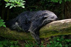 Sleeping Binturong or Bearcat