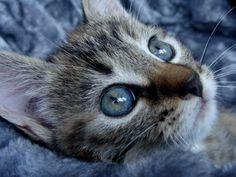 Mila kitten poes cat chat blue eyes
