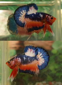 fwbettashmp1487782950 - fancy orange Marble HMPK male A5