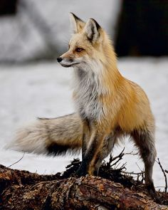 Fox on the hunt in Yellowstone