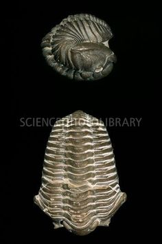 C0112220-Calymene_trilobite_fossils-SPL.jpg (352×530) Credit: NATURAL HISTORY MUSEUM, LONDON/SCIENCE PHOTO LIBRARY Caption:  Trilobite (Calymene blumenbachii) fossils. This convex Silurian trilobite fossil was found in Worcestershire, UK. http://www.sciencephoto.com/media/437038/enlarge