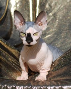 """The Bambino is a breed of cat that was created as a cross between the Sphynx and the Munchkin breeds. The word """"Bambino"""" is the Italian word for """"baby,"""" referring to its appearance since it looks like a baby kitten. The Bambino has short legs it inherits from the Munchkin and huge upright ears. It has the hairlessness of the Sphynx, with skin of white or pink."""