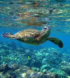 sea turtle by XpiccadillyXcircusX.deviantart.com on @deviantART
