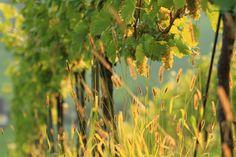 trauben - aus denen die hauptweinsorten welschriesling, sauvignon blanc, muskateller, weissburgunder oder morillon entstehen