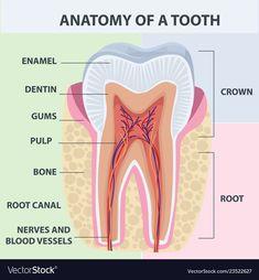 Dental World, Dental Life, Dental Art, Dental Health, Dental Assistant Study, Dental Hygiene Student, Rda Dental, Dental Terminology, Dental Aesthetics