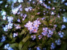 POMNĚNKY ••• Začalo mě bavit fotit přírodu kolem sebe  Když pak kouknu do galerie, vidím, kolik krásy je kolem nás  ••• #pomnenky #forgetmenot #nature #priroda #bymyeyes #mymaocima #mobilephotography #focenomobilem #mindfulness #vsimavost #flowers #kvety #cz #czech # #myworld #mujsvet #beauty #krasa #beauty_of_czechia