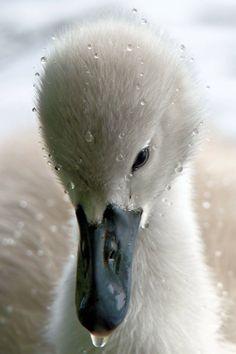 Cygnet by Allan Higgen via Irish Wildlife Trust FB page Love Birds, Beautiful Birds, Animals Beautiful, Farm Animals, Animals And Pets, Cute Animals, Swans, Belle Photo, Beautiful Creatures