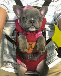 The major breeds of bulldogs are English bulldog, American bulldog, and French bulldog. The bulldog has a broad shoulder which matches with the head. Merle French Bulldog, French Bulldog Puppies, French Bulldogs, Cute Puppies, Cute Dogs, Dogs And Puppies, Cute Baby Animals, Animals And Pets, Wallpaper English