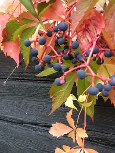 Villiviini (Parthenocissus). Virginia Creeper. Kauniissa syksyn sävyissä. Virginia Creeper, Creepers, Fruit, Garden, Nuthatches, Garten, Gardens, Tuin, Yard