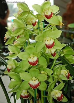 Cymbidium | Cymbidium orchids displayed at the City-flower garden in Dalat ...