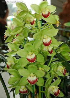 Cymbidium | Cymbidium orchids displayed at the City-flower garden in Dalat ...