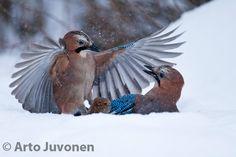 Eurasian Jay / Garrulus glandarius