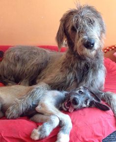 Irish Wolfhound and puppy with a happy, goofy expression