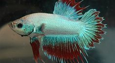 The Siamese fighting fish, more commonly known as the betta fish, is one of the most popular aquarium fishes kept today. Many myths surround the betta fish, which can lead to improper care and premature death. Find out how to properly care for your betta. Betta Fish Types, Betta Fish Care, Colorful Animals, Cute Animals, Fish Tank Design, Betta Tank, Fishing For Beginners, Fishing World, Beta Fish