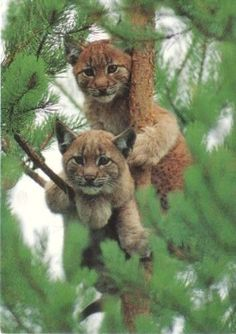 Awesome shot of Lynx kittens in a tree. no one has right to touch my estate we all twin brothers of india. I Love Cats, Big Cats, Cute Cats, Cats And Kittens, Nature Animals, Animals And Pets, Wild Animals, Beautiful Cats, Animals Beautiful