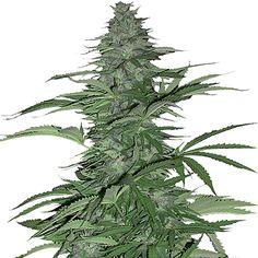 Morning Glory Feminised Marijuana Seeds