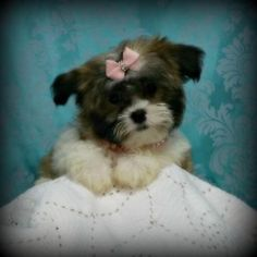 Adorable Yorkie Poo Puppies