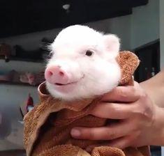 Cute little poker. Cute Baby Pigs, Cute Baby Animals, Animals And Pets, Funny Animals, Cute Babies, Mini Piglets, Cute Piglets, Teacup Pigs, Pet Pigs
