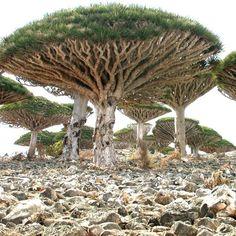 Árboles Sangre de los Dragones, Isla de Socotra, Yemen.