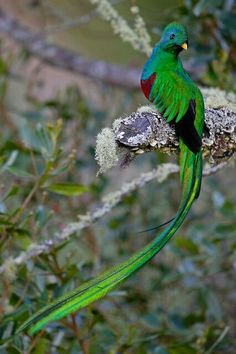 Quetzal, the most beautiful.  Unfortunately, these striking birds are threatened in Guatemala and elsewhere throughout their range. They are sometimes trapped for captivity or killed, but their primary threat is the disappearance of their tropical forest homes.