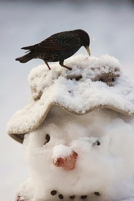 Star auf Schneemann - Starling on a Snowman I Love Snow, I Love Winter, Let It Snow, Winter Fun, Winter Season, Winter Christmas, Christmas Snowman, Merry Christmas, Country Christmas