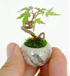 Mini maple bonsai