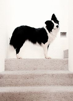About to go upstairs and reprogram the computer. #bordercollie