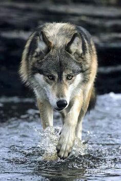 Wolf on Water .. FB Wildlife and Nature Photos
