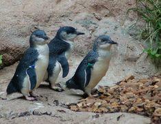 Fairy Penguin | Little Blue (Fairy) Penguin
