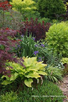'Sun Power' hosta with dwarf fleeceflower (Persicaria affine), Japanese maple (Acer palmatum), 'Gerald Darby' iris (Iris x robusta), blueleaf rose (Rosa glauca), 'Royal Purple' smokebush (Cotinus coggygria), 'Isla Gold' tansy (Tanacetum vulgare), and 'Beni-kaze' Hakone grass (Hakonechloa macra) at Hayefield