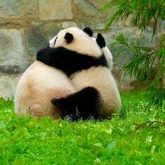 Pandas at play Cute Little Animals, Cute Funny Animals, Funny Animal Pictures, My Spirit Animal, My Animal, Worlds Cutest Animals, Panda Lindo, Baby Panda Bears, Panda Wallpapers