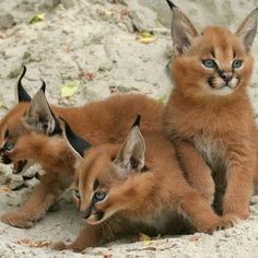 Kittens of the caracal cat, also known as the desert lynx. They're found across Africa, central Asia and southwest Asia into India.